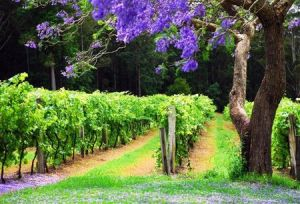 Bago Vineyards - Accommodation Port Macquarie