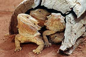 Alice Springs Reptile Centre - Accommodation Port Macquarie