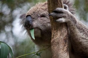 Phillip Island Koala Conservation Centre Entry ticket - Accommodation Port Macquarie